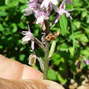 Photographie n°2376971 du taxon Dactylorhiza fuchsii (Druce) Soó [1962]