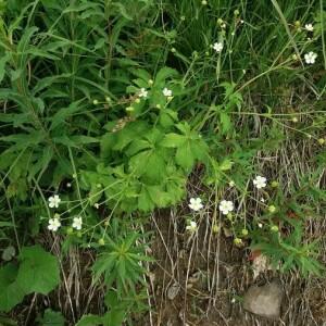Photographie n°2377204 du taxon Ranunculus aconitifolius L. [1753]