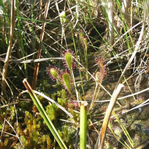 Photographie n°2377223 du taxon Drosera anglica Huds. [1778]
