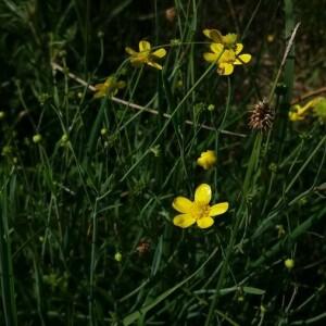 Photographie n°2377227 du taxon Ranunculus flammula L. [1753]