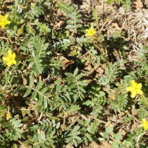 Photographie n°2378787 du taxon Tribulus terrestris L. [1753]
