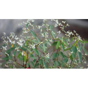 Euphorbia hypericifolia L.