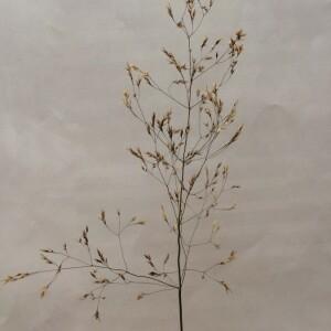 Photographie n°2378964 du taxon Agrostis capillaris L. [1753]