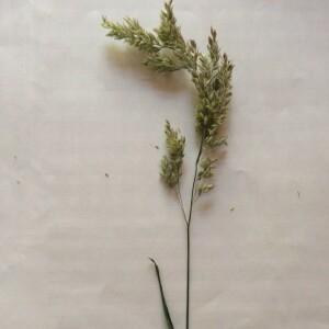 Photographie n°2378968 du taxon Dactylis glomerata L. [1753]
