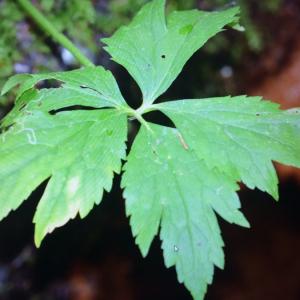 Photographie n°2379067 du taxon Ranunculus aconitifolius L. [1753]
