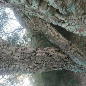 Photographie n°2379314 du taxon Quercus suber L. [1753]