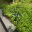 Gentia - Brassica napus L. [1753]