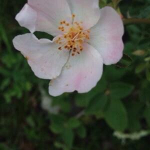 Photographie n°2381235 du taxon Rosa canina L. [1753]