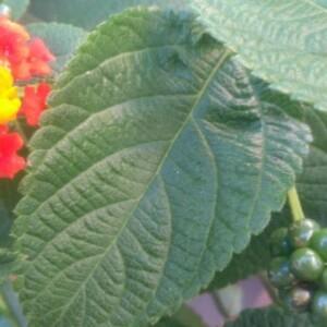 Photographie n°2382289 du taxon Lantana camara L. [1753]