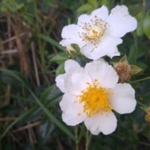 Photographie n°2382403 du taxon Rosa arvensis Huds. [1762]