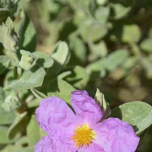 Photographie n°2382591 du taxon Cistus albidus L. [1753]