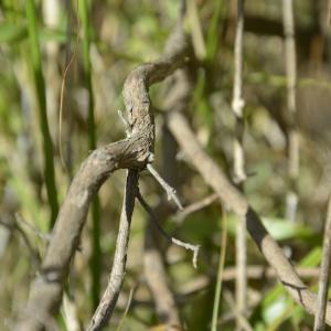 Photographie n°2382643 du taxon Cistus albidus L. [1753]