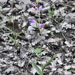 Photographie n°2383063 du taxon Cephalanthera rubra (L.) Rich. [1817]