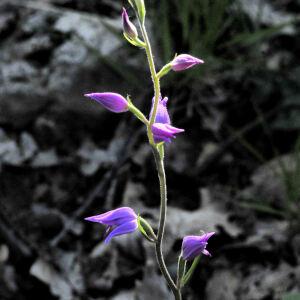 Photographie n°2383064 du taxon Cephalanthera rubra (L.) Rich. [1817]