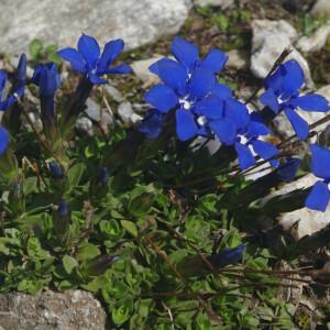Photographie n°2383290 du taxon Gentiana verna subsp. verna