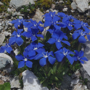 Photographie n°2383291 du taxon Gentiana verna subsp. verna