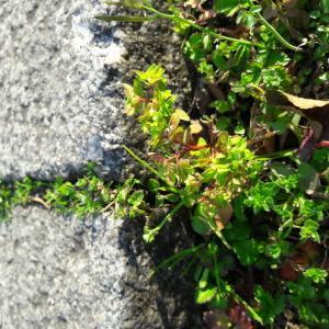 Photographie n°2383355 du taxon Euphorbia peplus L.