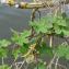 AlainHaye - Humulus lupulus L. [1753]