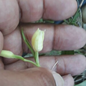 Photographie n°2384605 du taxon Cephalanthera damasonium (Mill.) Druce [1906]