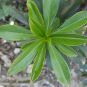 Photographie n°2384613 du taxon Daphne laureola L. [1753]