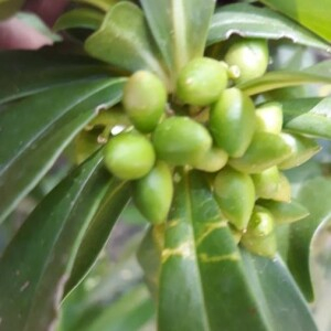 Photographie n°2384614 du taxon Daphne laureola L. [1753]