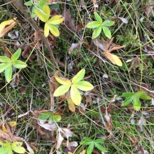 Photographie n°2384885 du taxon Galium odoratum (L.) Scop. [1771]