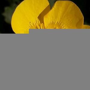 Photographie n°2386160 du taxon Ranunculus bulbosus L. [1753]