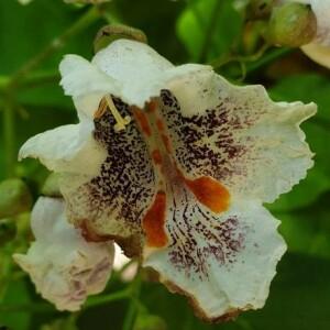 Photographie n°2386834 du taxon Catalpa bignonioides Walter [1788]