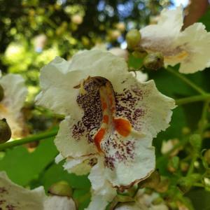 Photographie n°2386837 du taxon Catalpa bignonioides Walter [1788]