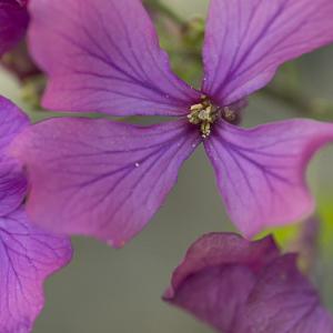 Photographie n°2387401 du taxon Lunaria annua f. annua