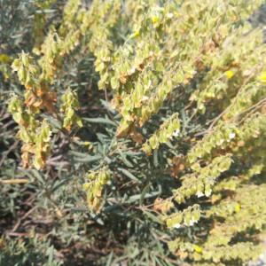 Photographie n°2388817 du taxon Helianthemum syriacum (Jacq.) Dum.Cours. [1802]