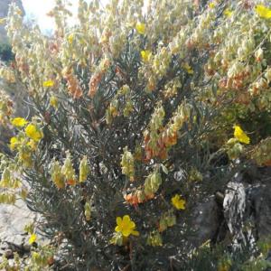 Photographie n°2388818 du taxon Helianthemum syriacum (Jacq.) Dum.Cours. [1802]