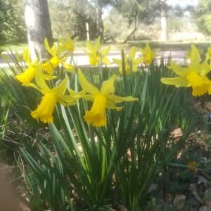 Photographie n°2388889 du taxon Narcissus pseudonarcissus L. [1753]
