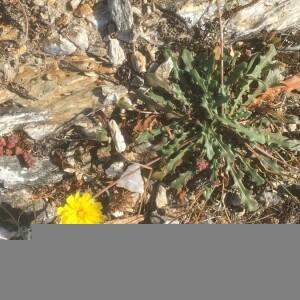 Photographie n°2388947 du taxon Leontodon saxatilis Lam. [1779]