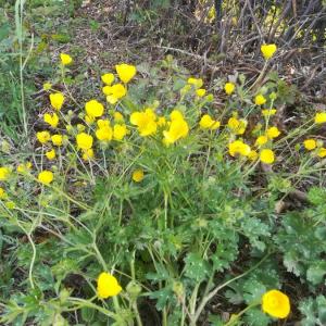 Photographie n°2389926 du taxon Ranunculus bulbosus L. [1753]
