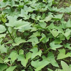 - Ipomoea batatas (L.) Lam. [1792]