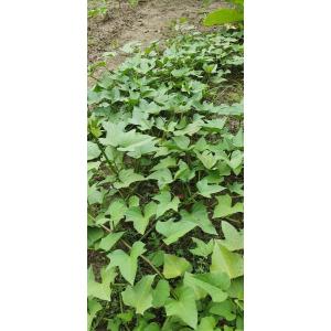 Ipomoea batatas (L.) Lam.