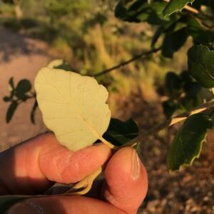 Photographie n°2395064 du taxon Quercus suber L. [1753]