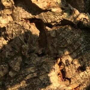 Photographie n°2395066 du taxon Quercus suber L. [1753]