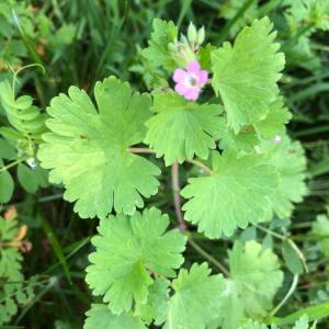 - Geranium sibiricum L. [1753]