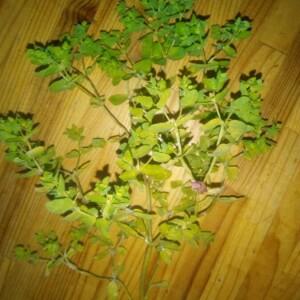 Photographie n°2395585 du taxon Euphorbia peplus L. [1753]