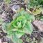 Vitalain - Brassica rapa L. [1753]