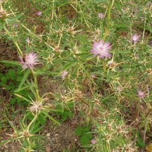 Photographie n°2395706 du taxon Centaurea calcitrapa L. [1753]