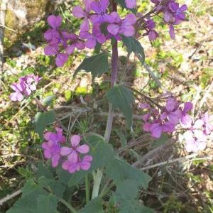 Photographie n°2395756 du taxon Lunaria annua L. [1753]