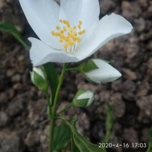 Photographie n°2395790 du taxon Philadelphus coronarius L. [1753]