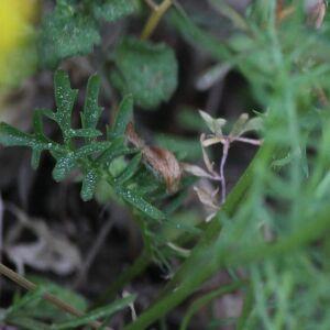 Photographie n°2395812 du taxon Rorippa sylvestris (L.) Besser [1821]