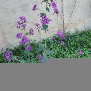 Photographie n°2396133 du taxon Lunaria annua L. [1753]
