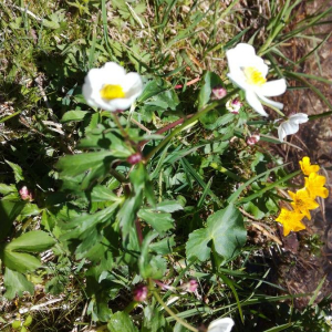Photographie n°2396189 du taxon Ranunculus aconitifolius L. [1753]