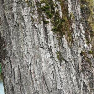 Photographie n°2396216 du taxon Quercus suber L. [1753]
