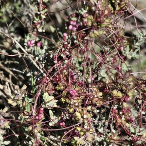 - Cuscuta epithymum subsp. epithymum